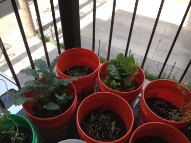 Kale, chard, baby spinach!