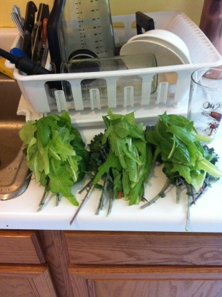 Some of our greens harvest. Here is lettuce & kale!