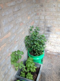Basil & mint plants!