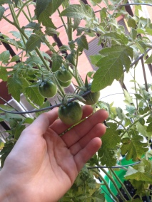 Couldn't believe it was *working* and that we had tomatoes growing!