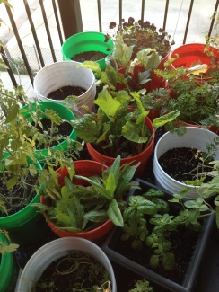 Beautiful lettuces & other greens growing happily!