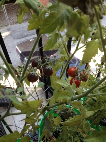 Tomatoes ripening!