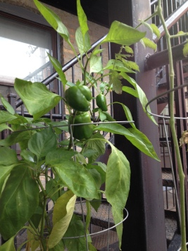 Peppers growing happily away!