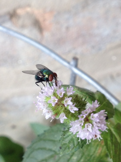 Fly hanging out on a Mint Flower!