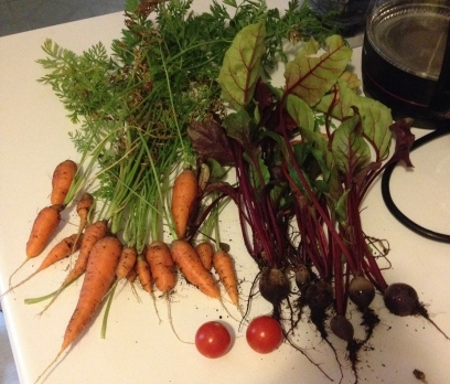 Our first root veggie harvest!
