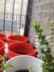 Bee pollinating our Basil!