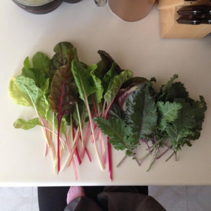More greens harvest, chard & kale!