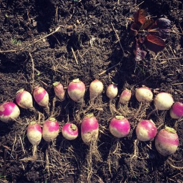 2016 turnip harvest