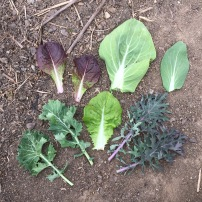 2016: various greens growing in the fall garden.