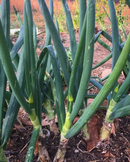 2017 green onions going to seed.