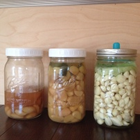 Various stages of garlic fermentation.