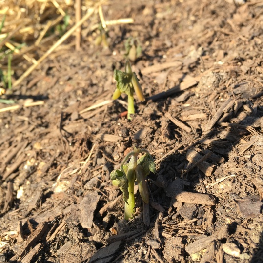3.21.16 Frost-killed beans!