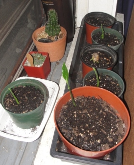 Jackfruit trees, I germinated the seeds 6/1