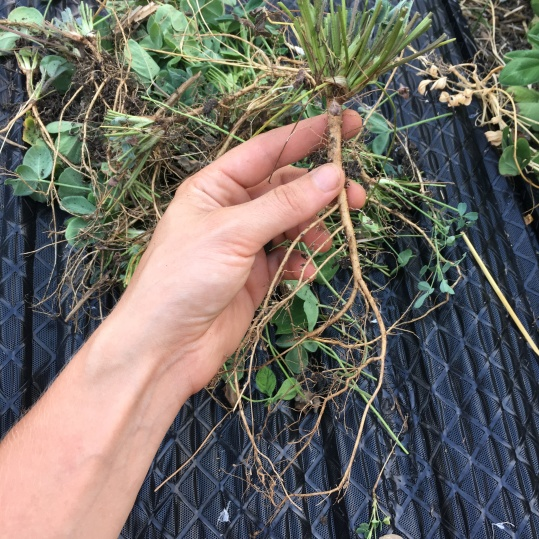6.23.16 Cut the clover, here's a shot of the roots of one plant.