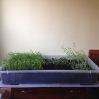 Growing microgreens in my bedroom!