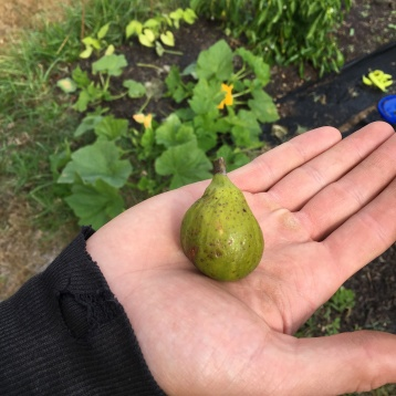 10.27.16 Our first homegrown fig!