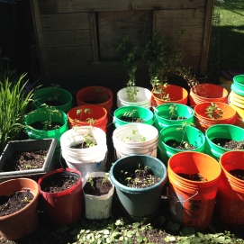 Containers all planted out!
