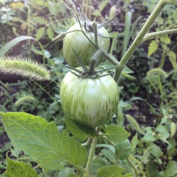Green Zebra Tomatoes!