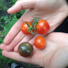Small, but awesome cherry tomato harvest!