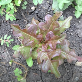 I absolutely love this lettuce! So pretty! Can't remember the name of the variety! =(