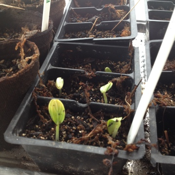 3.12.16 6 days after planting!