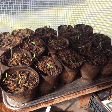 3.17.16 Baby tomatoes 11 days after planting.