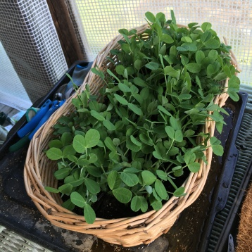 4.17.16 Beautiful Pea Shoots didn't mind growing in a woven basket at all!