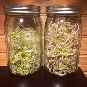 6.4.16 Just a couple of jars of beautiful sprouts!