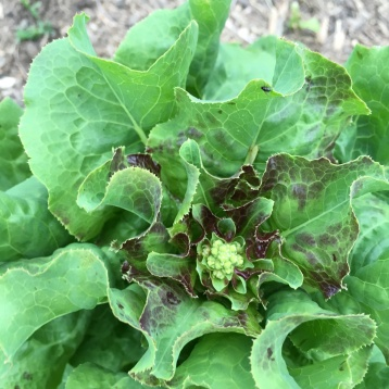 6.21.16 A gorgeous lettuce going to seed!
