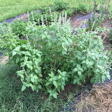 8.17.16 This basil became a bush QUICK.