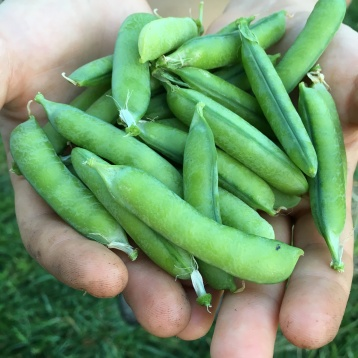 Speckled peas!