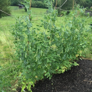 Speckled Peas growing away!