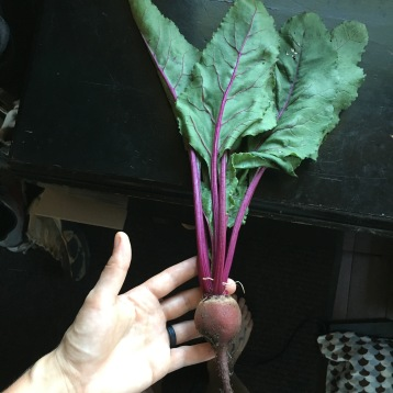 Our first beet of the year!