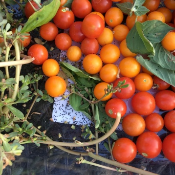 Tomatoes & lots of purslane seeds!