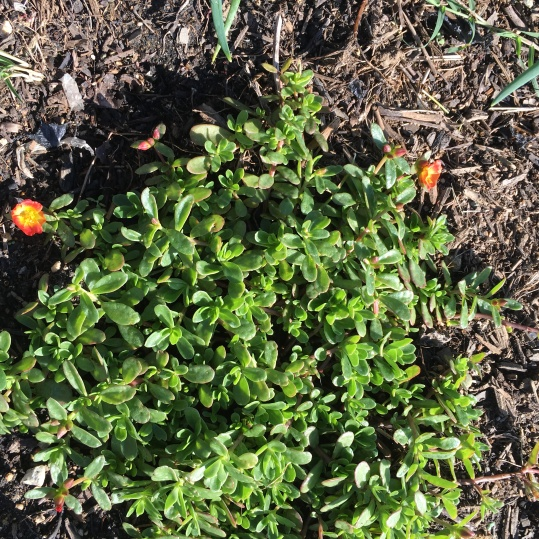 Instead of the typical yellow flowers, this purslane plant had orange flowers!