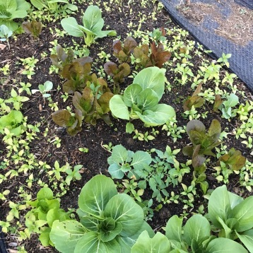 Fall greens, mostly self seeded.