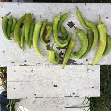 Banana pepper bounty!