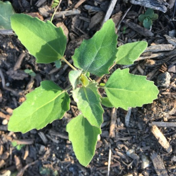 First lambs quarter plant to make an appearance.