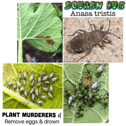 insects in garden squash bug