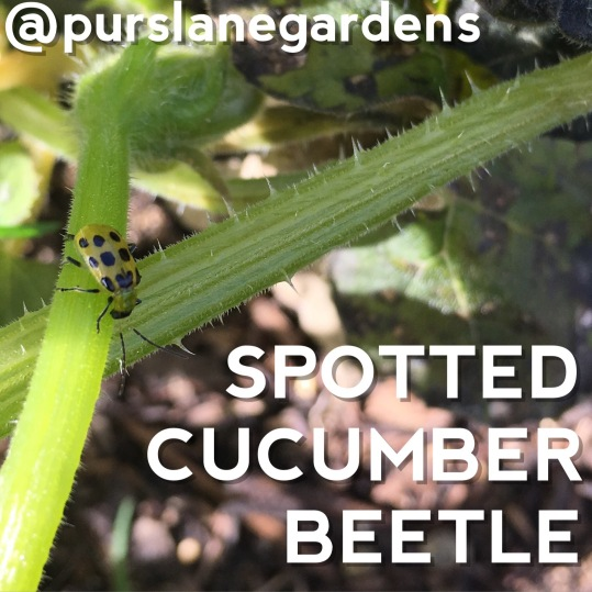 insects in garden spotted cucumber beetle